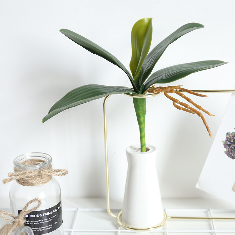 Moth Orchid 5